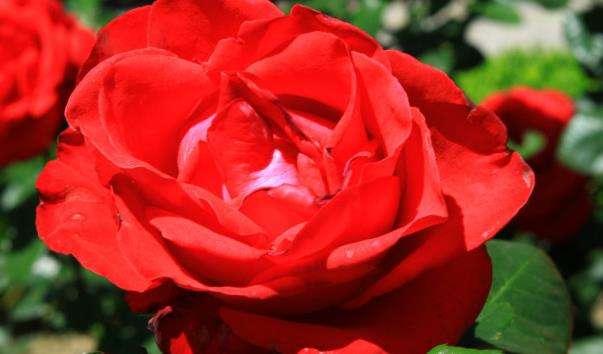 Сад троянд