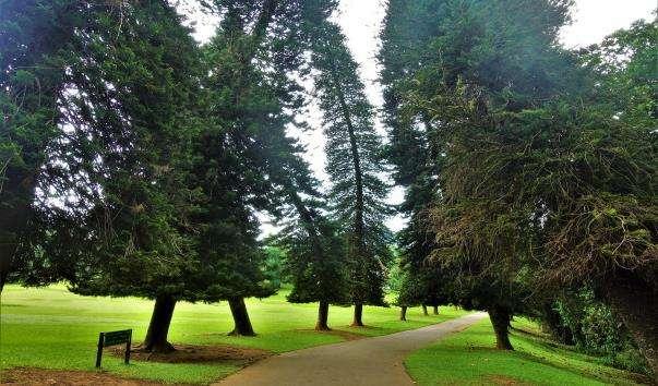 Алеї араукарій в Королівському ботанічному саду