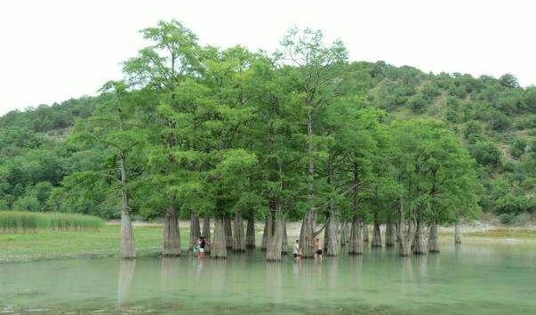 Гай болотного кипарису
