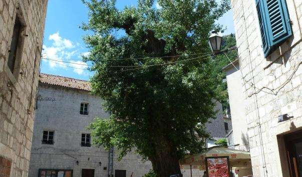 Єдине велике дерево в Старому Которе
